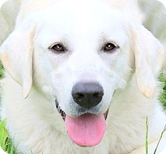 Labrador Retriever/Great Pyrenees Mix Dog for adoption in Winchester, Kentucky - SCOUT(BEAUTIFUL-SO SMART!!