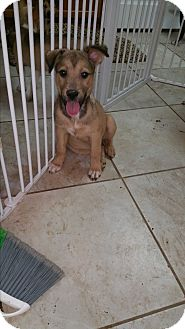 German Shepherd Dog Puppy for adoption in Arlington, Texas - Julius - FOSTER NEEDED