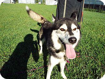 Siberian Husky Mix Dog for adoption in Watha, North Carolina - Akman
