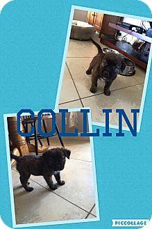 Rhodesian Ridgeback/Shepherd (Unknown Type) Mix Puppy for adoption in Scottsdale, Arizona - Collin