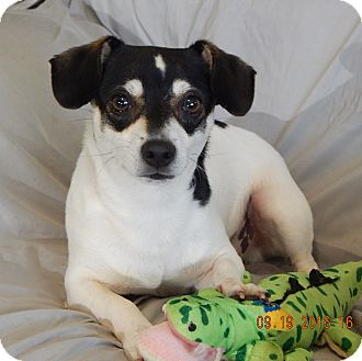 Rat Terrier/Terrier (Unknown Type, Small) Mix Dog for adoption in Williamsport, Maryland - Harley(13 lb) Laid Back Dude!