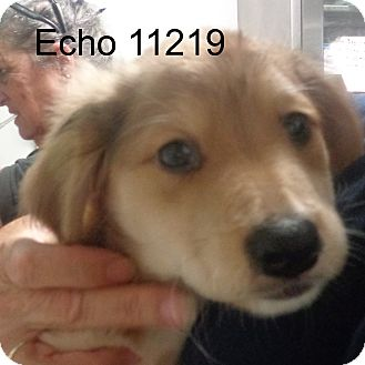Golden Retriever/Dachshund Mix Puppy for adoption in Manassas, Virginia - Echo