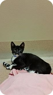 Domestic Shorthair Kitten for adoption in Cumming, Georgia - Spitfire