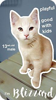 Domestic Shorthair Kitten for adoption in Chaska, Minnesota - Blizzard
