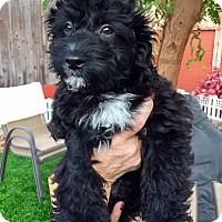 Adopt A Pet :: Jupiter Puppy - Encino, CA