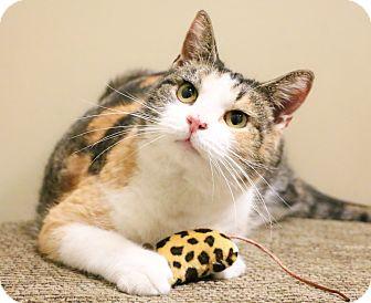Calico Cat for adoption in Chicago, Illinois - Eve