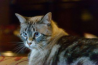 Siamese Cat for adoption in Houston, Texas - Fu