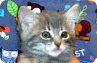 Domestic Shorthair Kitten for adoption in Wildomar, California - 341848