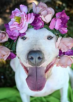 Bull Terrier Mix Dog for adoption in Yuba City, California - Phoebe