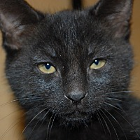 Adopt A Pet :: Midnight - Whittier, CA