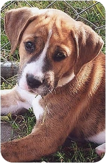 Boxer Mix Puppy for adoption in Owatonna, Minnesota - Onyx