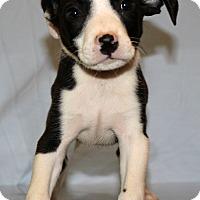 Adopt A Pet :: Abe - Waldorf, MD