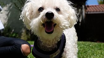 Poodle (Toy or Tea Cup) Dog for adoption in Los Angeles, California - Katie