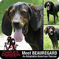 Adopt A Pet :: Beauregard - Pottstown, PA