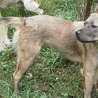 German Shepherd Dog/American Staffordshire Terrier Mix Dog for adoption in Lansing, Michigan - Bizzy