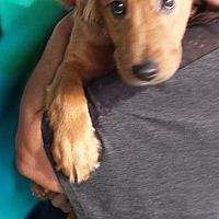 Adopt A Pet :: Canela -Cinnamon-Adopting proc - El Cajon, CA