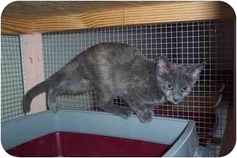 Domestic Shorthair Kitten for adoption in Jeffersonville, Indiana - Jessica