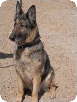 German Shepherd Dog Dog for adoption in Las Vegas, Nevada - Scorates