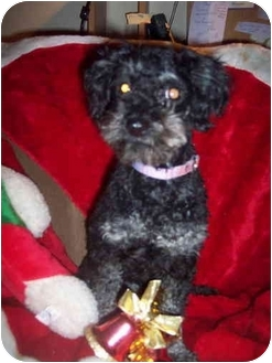 Poodle (Toy or Tea Cup) Dog for adoption in McArthur, Ohio - Grace Face