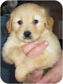 Golden Retriever/Australian Shepherd Mix Puppy for adoption in Proctorville, Ohio, Ohio - Winston- adoption pending
