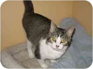 Domestic Shorthair Cat for adoption in Libby, Montana - Martha