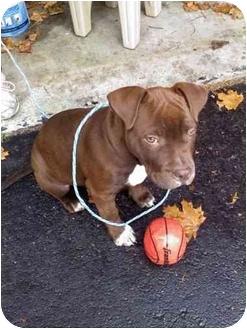 American Staffordshire Terrier Mix Puppy for adoption in Manhasset, New York - Callie -- HELPPPP!!!