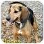 Photo 2 - Beagle/Hound (Unknown Type) Mix Dog for adoption in Aldie, Virginia - Bones