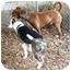 Photo 3 - Labrador Retriever/Pointer Mix Dog for adoption in Berkeley, California - Spence