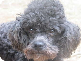Miniature Poodle Dog for adoption in Windham, New Hampshire - Rudy