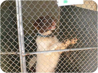 Setter (Unknown Type) Mix Dog for adoption in Henderson, North Carolina - Ringo