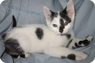 Domestic Shorthair Kitten for adoption in Mt. Prospect, Illinois - Aspen