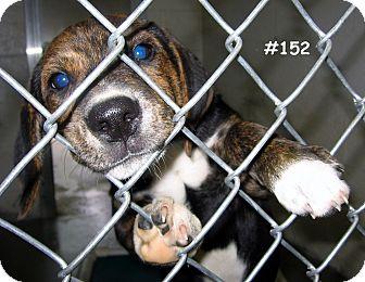 Hound (Unknown Type) Mix Puppy for adoption in Floyd, Virginia - URGENT - At Pound #152