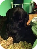 Great Dane/Boxer Mix Dog for adoption in Franklinville, New Jersey - Angus