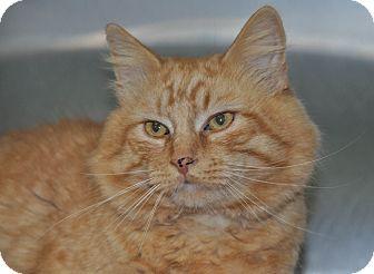 Domestic Mediumhair Cat for adoption in Saint Albans, Vermont - Blake