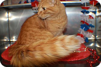 Domestic Longhair Cat for adoption in Hibbing, Minnesota - CHARGER