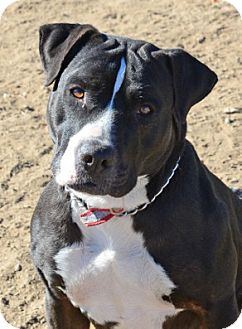 Pit Bull Terrier/Labrador Retriever Mix Dog for adoption in Gardnerville, Nevada - Floyd
