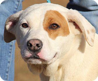 Basset Hound Mix Puppy for adoption in Stamford, Connecticut - Katy