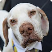Adopt A Pet :: Kurt Russell - Plano, TX