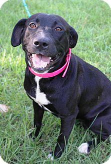 Labrador Retriever Mix Dog for adoption in Starkville, Mississippi - CeCe