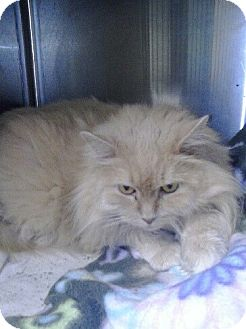 Domestic Longhair Cat for adoption in shelton, Connecticut - fluffy