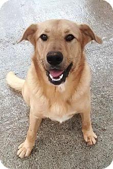 Golden Retriever/Labrador Retriever Mix Dog for adoption in Cleveland, Georgia - Ace