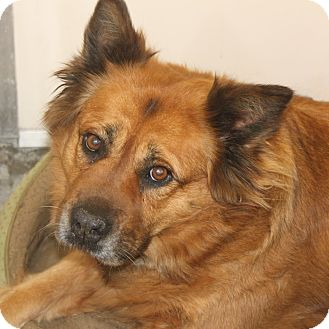 Chow Chow/Shepherd (Unknown Type) Mix Dog for adoption in Staunton, Virginia - Angel