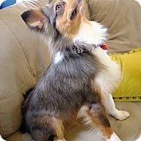 Adopt A Pet :: Flaco - MINI AUSSIE - Mesquite, TX