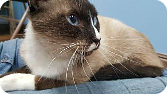 Siamese Cat for adoption in Albemarle, North Carolina - Rutherford B. Hayes