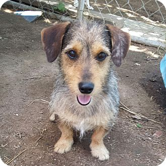 Schnauzer (Miniature)/Wirehaired Fox Terrier Mix Dog for adoption in Kingsland, Texas - Harry