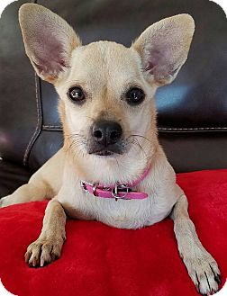 Chihuahua Mix Dog for adoption in San Diego, California - Maggie