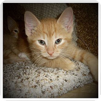 Domestic Shorthair Kitten for adoption in Medford, Wisconsin - MOGGY