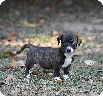 Dachshund Mix Puppy for adoption in Groton, Massachusetts - Diamond