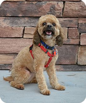 Shih Tzu/Poodle (Miniature) Mix Dog for adoption in Chandler, Arizona - Bogart
