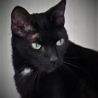 Domestic Shorthair Cat for adoption in Gonzales, Texas - Gage